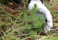 Вмикрорайонах №3и«Восточный» Звенигорода высадят зеленые насаждения